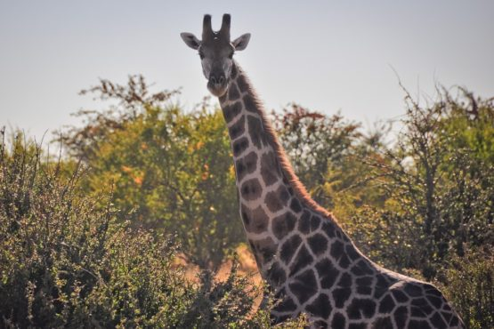 Giraffe in abendlicher Savanne, Namibia