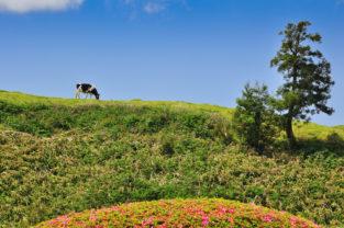 Grasende Kuh nahe Furnas, Sao Miguel, Azoren, Portugal