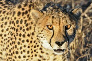 Gepard in der Abendsonne, Namibia