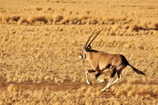 Oryx-Antilope auf der Flucht, Namibia
