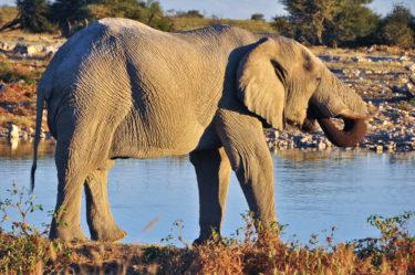 Afrikanischer Wüstenelefant, Etosha-Nationalpark, Namibia