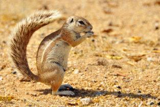 Kap-Borstenhörnchen, Etosha-Nationalpark, Namibia