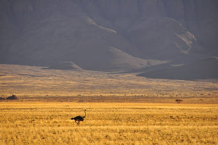 Afrikanischer Strauß nahe Sesriem, Namib-Naukluft-Park, Nambia