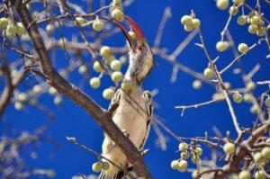 Rotschnabeltoko in der Savanne, Namibia
