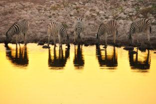 Steppenzebras an Wasserloch, Etoscha, Namibia
