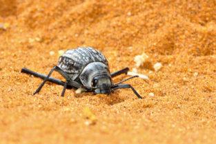 Nebeltrinkerkäfer, Namib-Wüste, Namibia