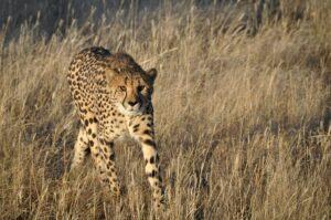 Gepard auf Beutezug, Namibia