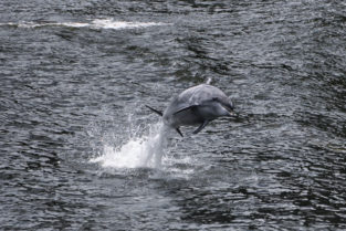 Delfin in den dunklen Gewässern des Milford Sounds, Fiordland, Neuseeland