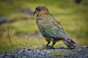 Kea, Bergpapagei, Southern Alps, Neuseeland