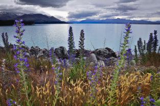 Ufer des Lake Tekapo, Mackenzie-Distrikt, Canterbury, Neuseeland