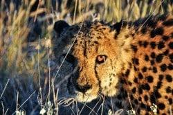 Gepard in der afrikanischen Savanne, Namibia