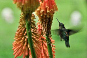 Kolibri im Valle Cochamo, Región de los Lagos, Patagonien, Chile