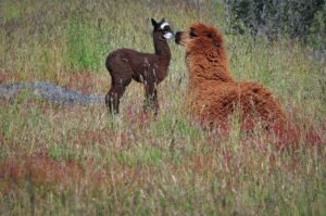 Alpaca-Junges mit Mutter, Patagonien, Chile