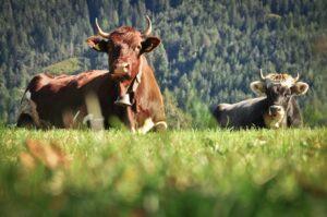 Kühe auf Alm, Südtirol, Dolomiten, Italien