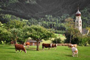 Kühe und Kirche auf Alm, Südtirol, Dolomiten, Italien