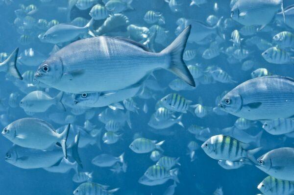 Fische an Riff vor der Küste von Barbados, Kleine Antillen, Karibik