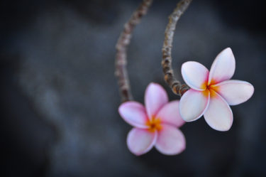Frangipani-Blüte - ein Wahrzeichen der Karibik