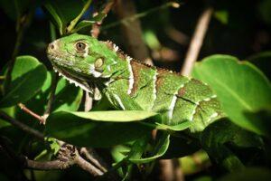 Iguana (Grüner Leguan), Tobago Cays, St. Vincent & Grenadinen, Karibik