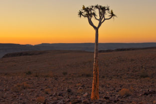 Einsamer Köcherbaum am Fish River Canyon, Namibia