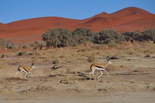 Sprinbock-Paar im Sossusvlei, Namib-Naukluft-Nationalpark, Namibia