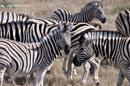 Namibia Wallpaper 2 | 1920x1200 | Zebras, Afrika, Safari, Etosha, Etoscha, Wüste, Hintergrundbild, Desktopbild, Bildschirmhintergrund