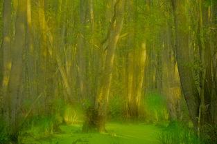 Erlenbruch im Darßer Urwald,, Zingst-Darß-Fischland, Mecklenburg-Vorpommern