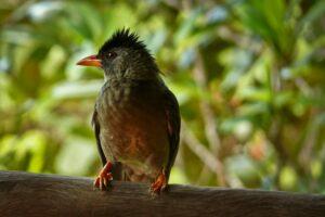 Bul-Bul im Regenwald, Praslin, Seychellen