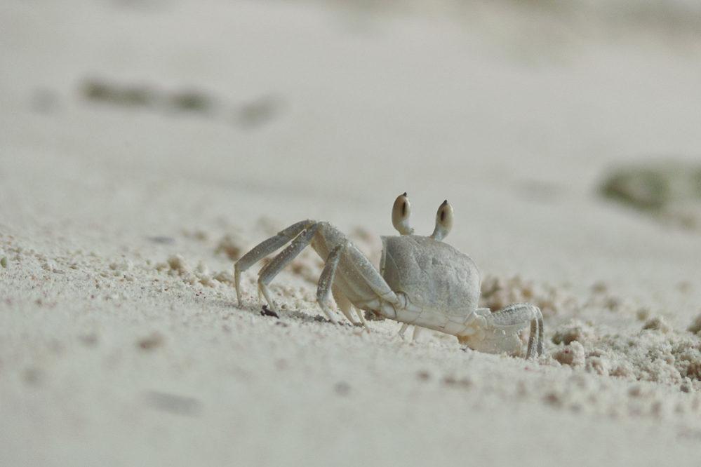Krabbe auf La Digue, Seychellen