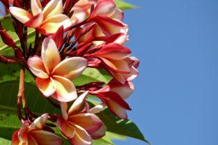 Frangipani-Blüten, Seychellen