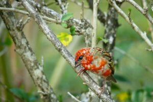 Madagaskar Fody (Kardinal), Seychellen