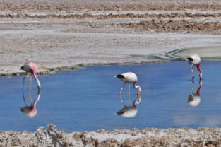 Wilde Tierwelt 06 | Andenflamingos auf dem Salzsee, Salar de Atacama, Chile
