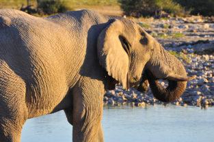 Afrikanischer Wüstenelefant an Wasserloch, Etosha Nationalpark, Namibia