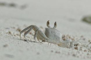 Krabbe am Strand, La Digue, Seychellen