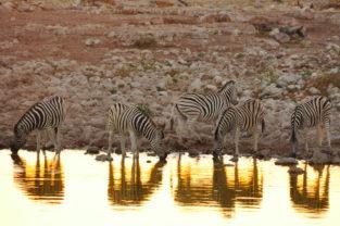 Steppenzebras an Wasserloch, Etosha-Nationalpark, Namibia