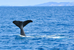 Pottwal (Spermwhale) vor der Pazifiküste von Kaikoura, Canterbury, Neuseeland