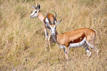 Springbock-Paar in Savanne, Etosha, Namibia