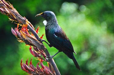 Tui, ein endemischer Sperlingsvogel, Neuseeland