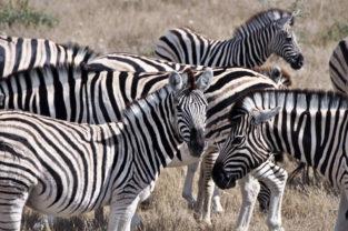 Herde von Steppenzebras, Etosha, Namibia