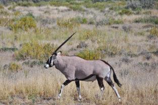 Oryx-Antilope in der Savanne, Namibia