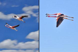 Andenflamingos im Flug, Atacama-Wüste, Chile