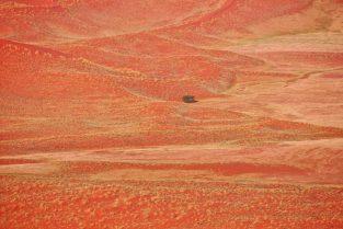 Baum in blühender Wüste, Namibia