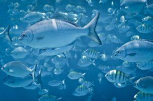 Fische vor der Küste von Barbados, Kleine Antillen, Karibik