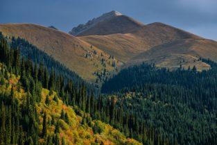 Herbst und Tien Shan Fichten auf Hochalm, Kasachstan