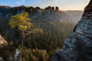 Kiefer und Gans, Elbsandsteingebirge, Sächsische Schweiz