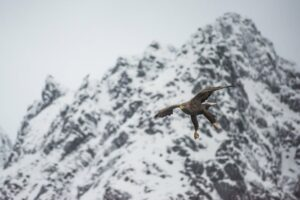 Seeadler, Trollfjord, Lofoten, Norwegen