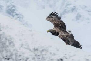 Lofoten 005 | Seeadler (white-tailed eagle, Haliaeetus albicilla) im Trollfjord, Norwegen, Winter