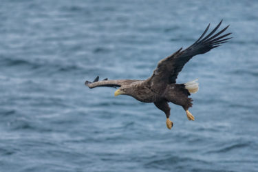 Lofoten 030 | Seeadler (white-tailed eagle, Haliaeetus albicilla) im Trollfjord, Norwegen, Winter