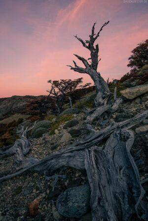 Patagonien: Verwitterter Baumstamm einer Lengabuche, Los Glaciares, Argentinien