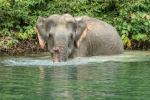 Wilder Elefant beim Bad, Khao Sok Nationalpark, Thailand