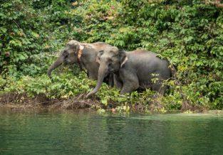 Wilde Elefanten im Khao Sok Nationalpark, Thailand